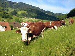 Biorindfleisch aus Oberried